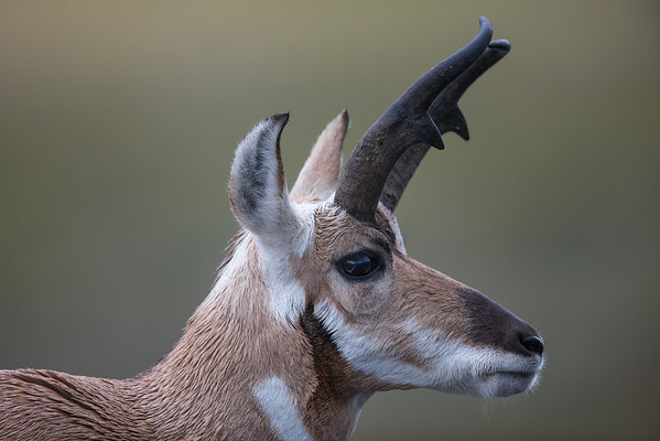 Pronghorn Portrait VI