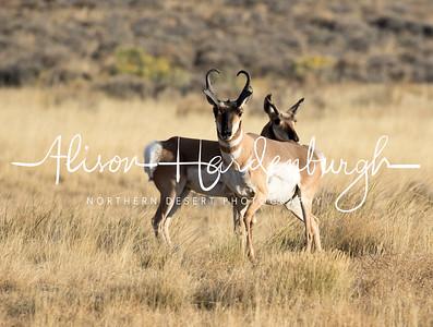 Pronghorn, Sheldon National Wildlife Refuge