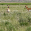 Doe Pronghorns