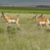 Pronghorns Leaving