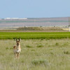 Buck Pronghorn at Desert' s Edge