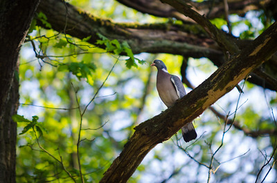 Holub hřivnáč / Common wood pigeon