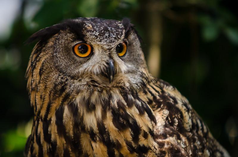 Eurasian Eagle-Owl / Výr Velký