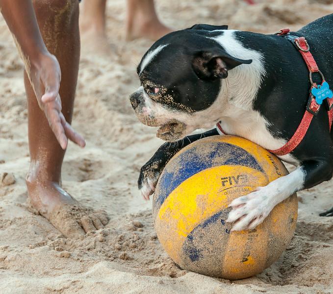 Puerto Rico 2013 - Condado Beach - Soccer, the Boston Terrier