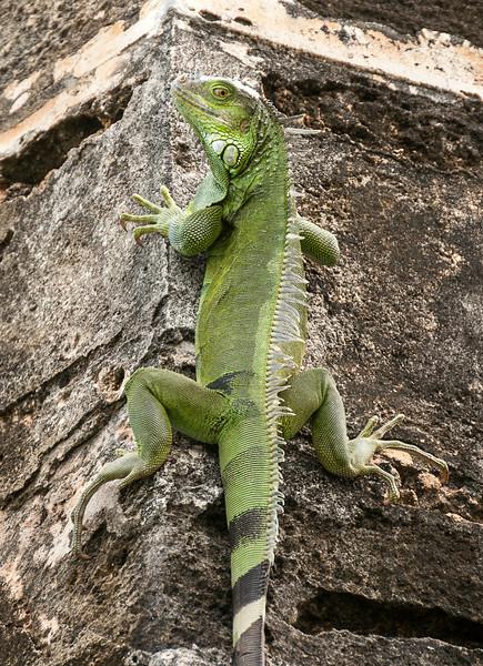 Puerto Rico 2013 - Old San Juan - Iguana on corner of Castillo S