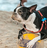 Puerto Rico 2013 - Condado Beach - Soccer, the Boston Terrier