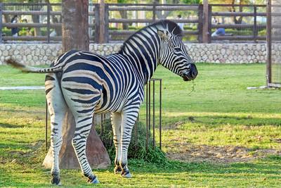 Zebra ...