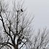 Two hawks at the Quivira Wildlife Refuge.