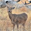 Deer munching on the grass at Quivira Wildlife Refuge.
