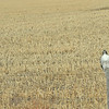 A hawk sitting beside the road. Shot at 70mph out the window on the way to Quivira Wildlife Refuge.