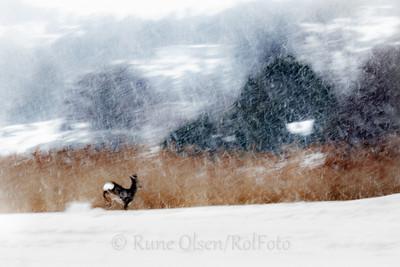 Bukkesprang i snøvær
