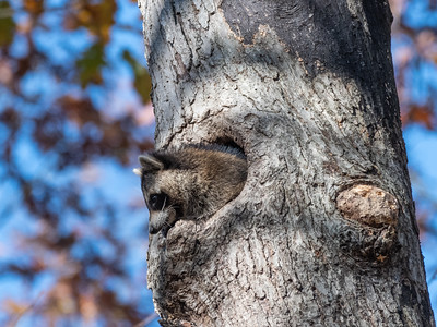 Raccoon 2 Nov 2019-1226