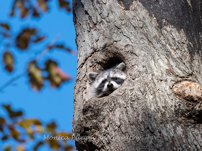 Raccoon 2 Nov 2019-1097