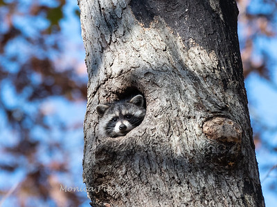 Raccoon 2 Nov 2019-1200