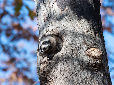 Raccoon 2 Nov 2019-1222