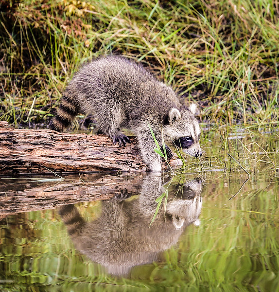 Raccoon Fishing