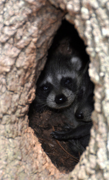 2 Baby Racoons inside a tree trunk in Longwood at the Cato's Easter Egg Hunt.<br /> 04/04/10