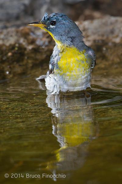 Northern Parula Takes A Bath