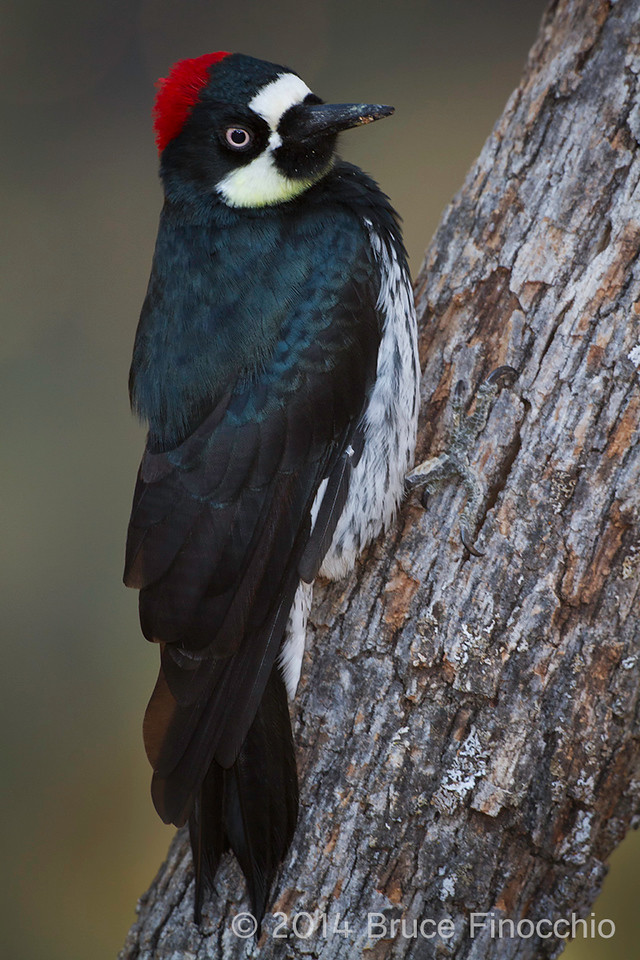 Female Acorn Woodpecker Pause On A Oak Tree