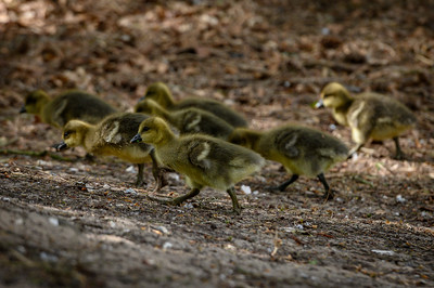 Reservoir Goslings