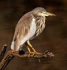 Juvenile Black-Crowned Heron - Ranthambore National Park