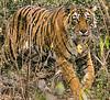 Royal Bengal Tiger - Ranthambore National Park