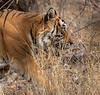 Royal Bengal Tiger on the Hunt - Ranthambore National Park