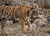 Royal Bengal Tiger Stalking a Deer - Ranthambore National Park