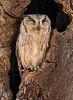 Indian Scops Owl - Ranthambore National Park