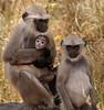 A Family of Black-faced LAngur Monkeys - Ranthambore National Park