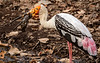 Painted Stork with a Mud-Coated Fish - Ranthambore National Park