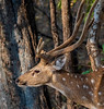 Spotted Deer -Ranthambore National Park