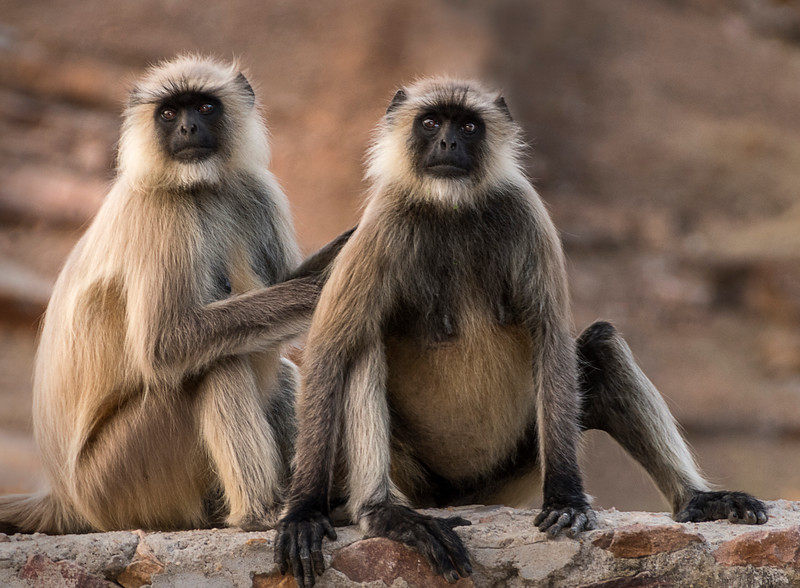 Black-Faced Langur Monkeys - Ranthambore National Parkl