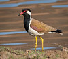 Red-Wattled Lapwing - Ranthambore National Park