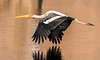 Painted Stork - Ranthambore National Park