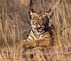"""I spy a tastey lunch!"" - Royal Bengal Tiger - Ranthambore National Park"