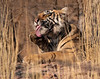 """""""Cleanliness is next to godliness!!!"""" - Royal Bengal Tiger - Ranthambore National Park"""
