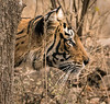 Royal Bengal Tiger - Ranthambore National Park