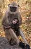 Balck-faced Langur Monkeys - Ranthambore National Park