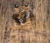 """""""I believe I have somethingin my eye!"""" - Royal Bengal Tiger - Ranthambore National Park"""