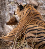 Royal Bengal Tiger - Immediately after the Kill - Ranthambore National Park