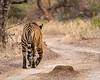 Day's End - Royal Bengal Tiger - Ranthambore National Park
