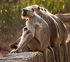 Black-Faced Langur Monkeys - Ranthambore National Park