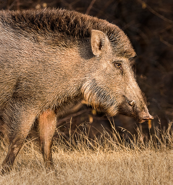Wild Boar - Ranthambore National Park