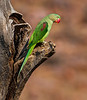 Alexandrine Parakeet - Ranthambore National Park