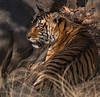 Royal Bengal Tiger Basking in the Afternoon Sun - Ranthambore National Park