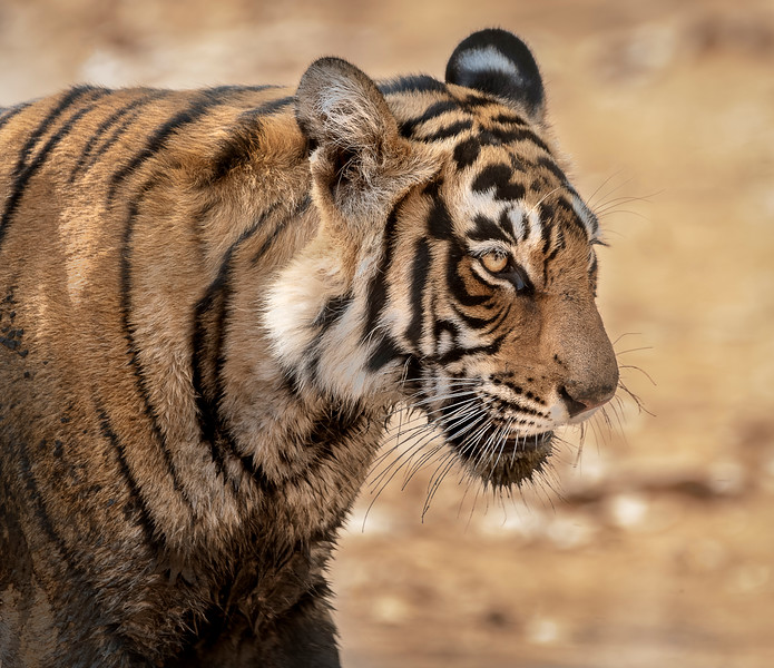 Subadult, male tiger (T8 - not yet named) after emerging from a mud bath