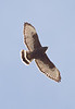 Broad-winged Hawk dark morph