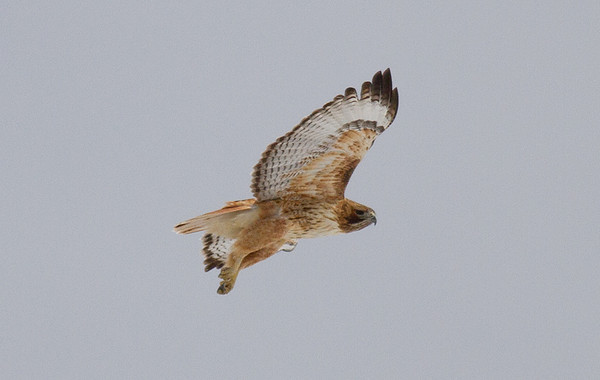 Red-tailed Hawk (adult-leg drop)