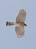 Accipiter (Cooper's Hawk?)